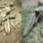 ರಾಯಚೂರಲ್ಲಿ ನೀರಿಲ್ಲದೇ ಮೀನು, ಮೊಸಳೆಗಳ ಮಾರಣಹೋಮ