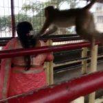 ವಿಡಿಯೋ: ಚಾಮುಂಡಿಬೆಟ್ಟದಲ್ಲಿ ಭಕ್ತೆಯ ಮೇಲೆ ಏಕಾಏಕಿ ಎರಗಿದ ಮಂಗಗಳು